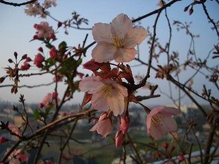 ベランダの桜 2008.4/7