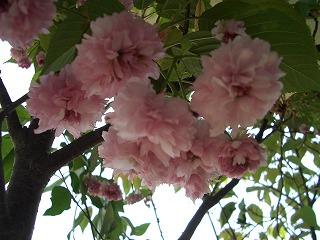ベランダ 兼六園菊桜