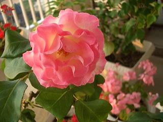 薔薇(ストロベリーアイス)