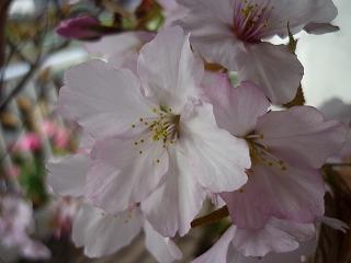 ベランダ 桜 2010