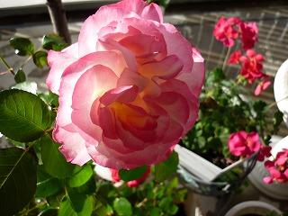 薔薇 ニコール 2010