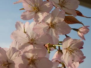 ベランダ 桜 開花