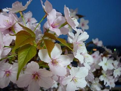 ベランダ 桜