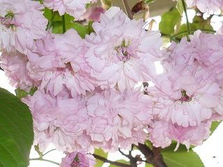 2011 兼六園菊桜 1