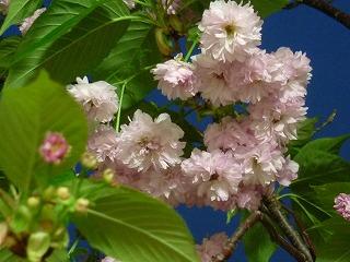 2011 兼六園菊桜 2